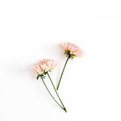 Beautiful chrysanthemum flower on white background. Flat lay, top view. Flower composition.